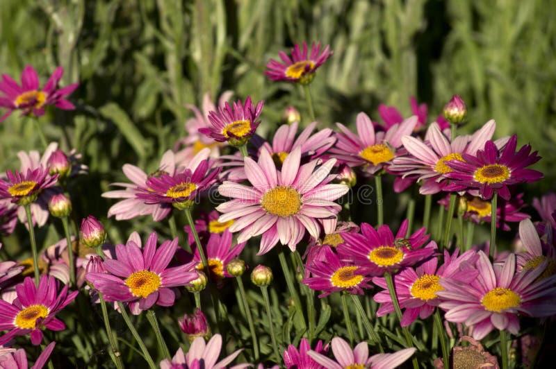 Marguerite Daisies, Kondinin, WA, Austrália imagens de stock royalty free