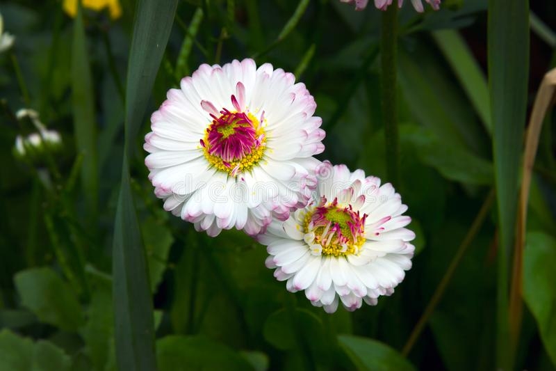 Marguerite daisy Bellis perennis flowers. Small European grassland plant royalty free stock photos