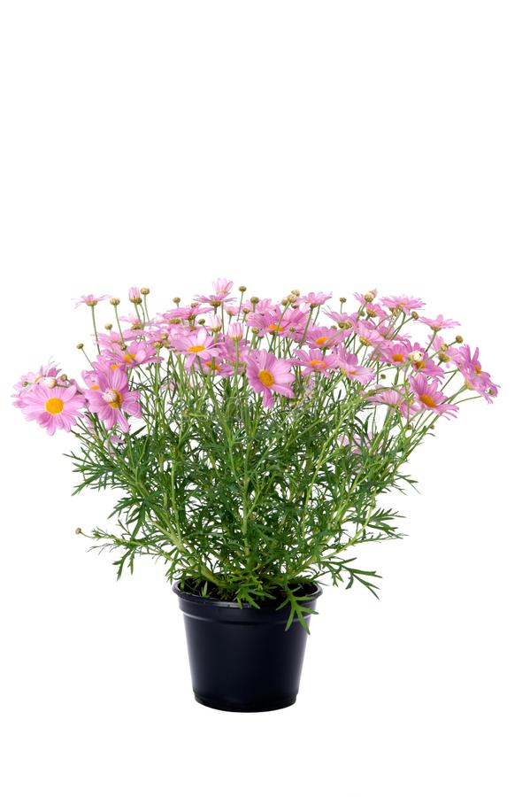 Marguerite daisy flowers in pink colors. Isolated on white background royalty free stock images