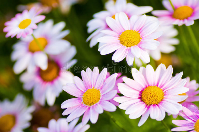 Marguerite daisy flowers. Close up of marguerite daisy flowers. An image of nature royalty free stock photography