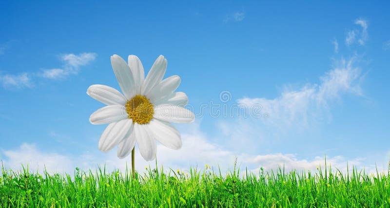 Marguerite dans l'herbe photo stock