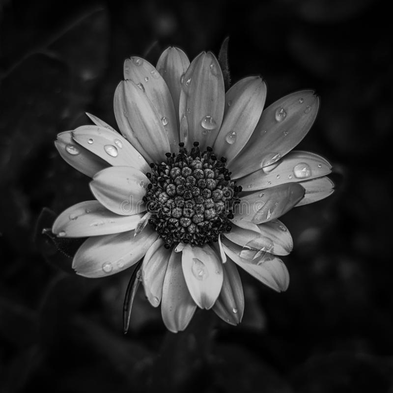 marguerite dans monotone photo libre de droits