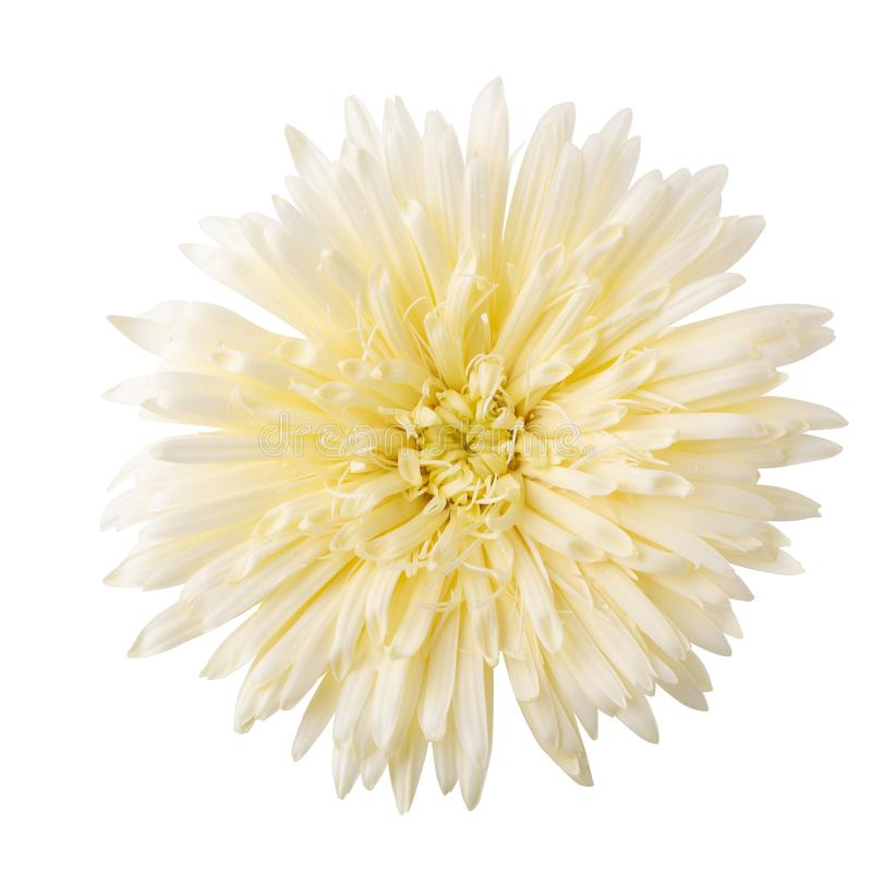 Marguerite de Barberton, fleur de marguerite de Gerbera d'isolement sur le fond blanc image libre de droits