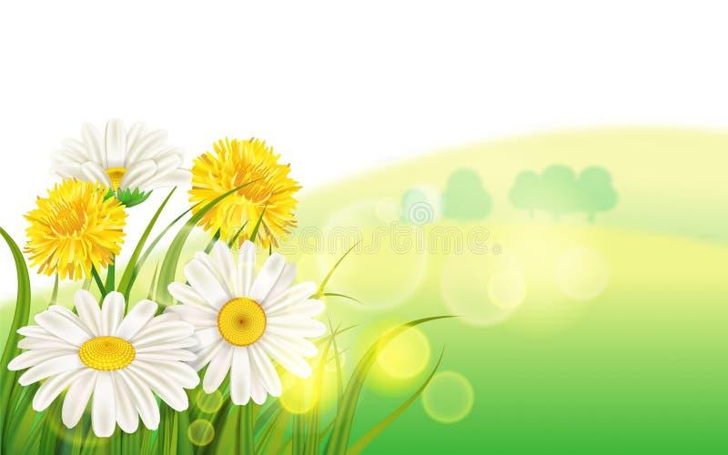 Marguerite de fleur de ressort juteuse, calibre jaune de fond d'herbe verte de pissenlits de camomilles pour des bannières, Web,  illustration libre de droits