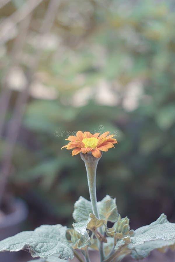 Marguerite de gerbera de fleur Avec jaune-orange sont les espèces d'usine en Thaïlande images libres de droits