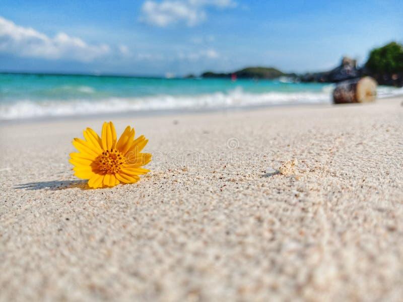 Marguerite de Singapour sur la plage photo libre de droits