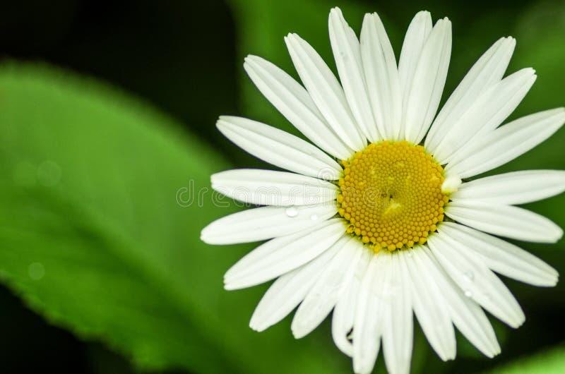 Marguerite de vulgare de Leucanthemum photos stock