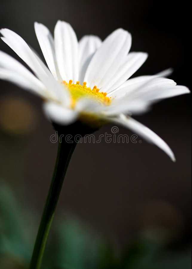 Marguerite des prés photo stock