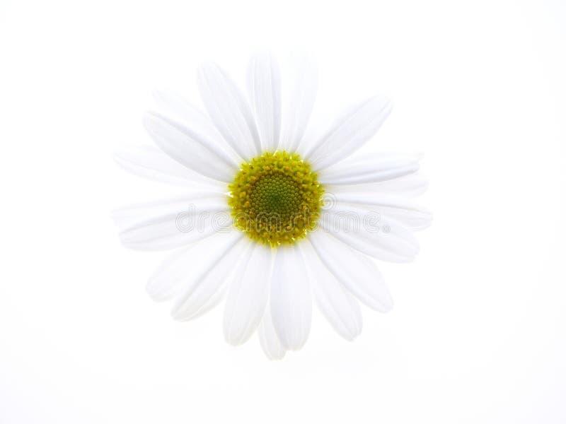 Marguerite des prés blanche photo libre de droits