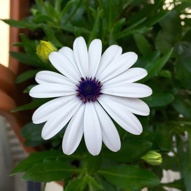 Marguerite des prés blanche fleurissante dans une boîte de fleur photos libres de droits