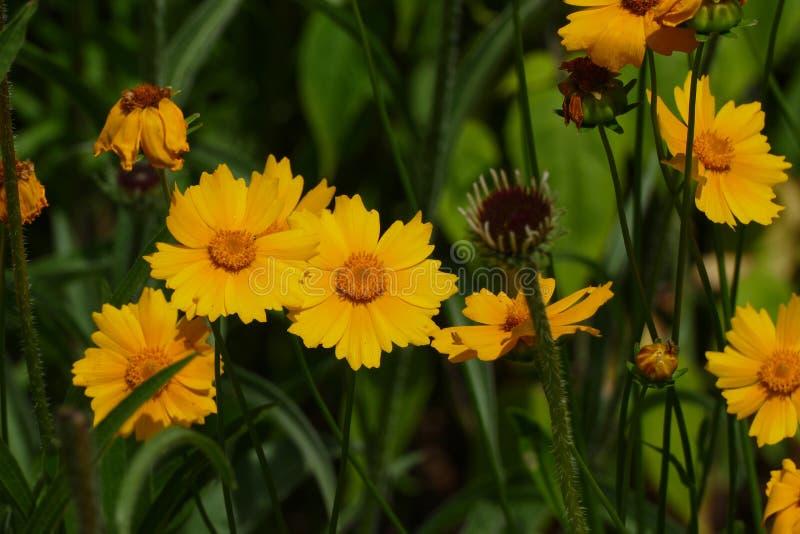 Marguerite des prés jaune sauvage photo libre de droits