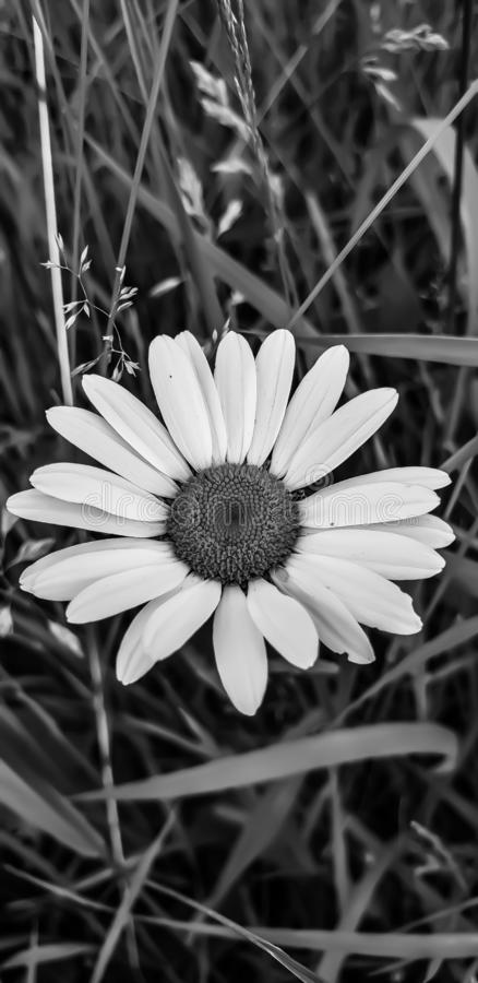 Marguerite en noir et blanc photos stock