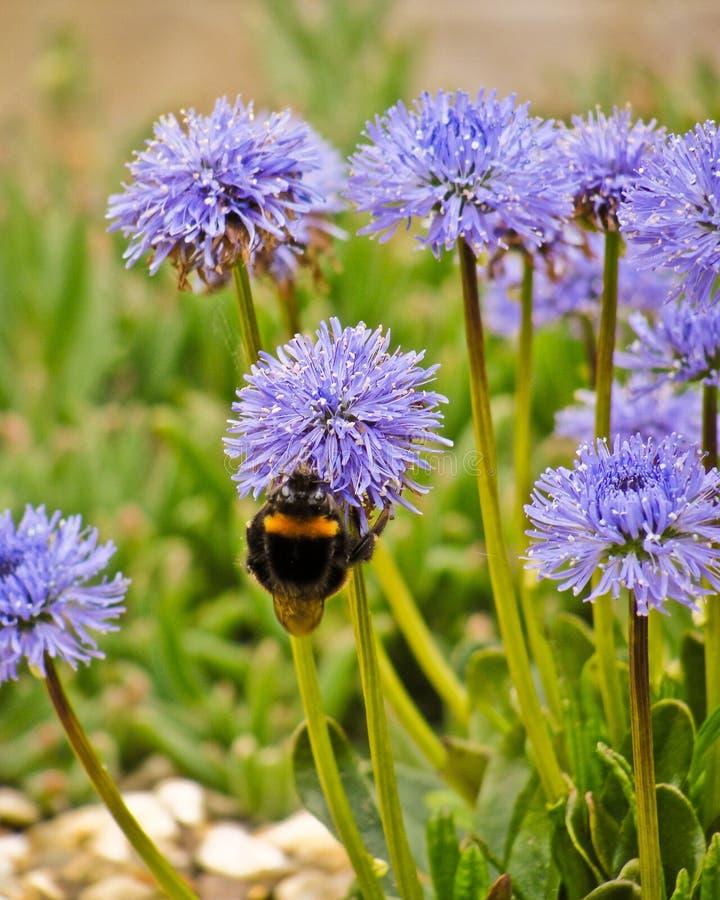 Marguerite et abeille pourpres de globe photos stock