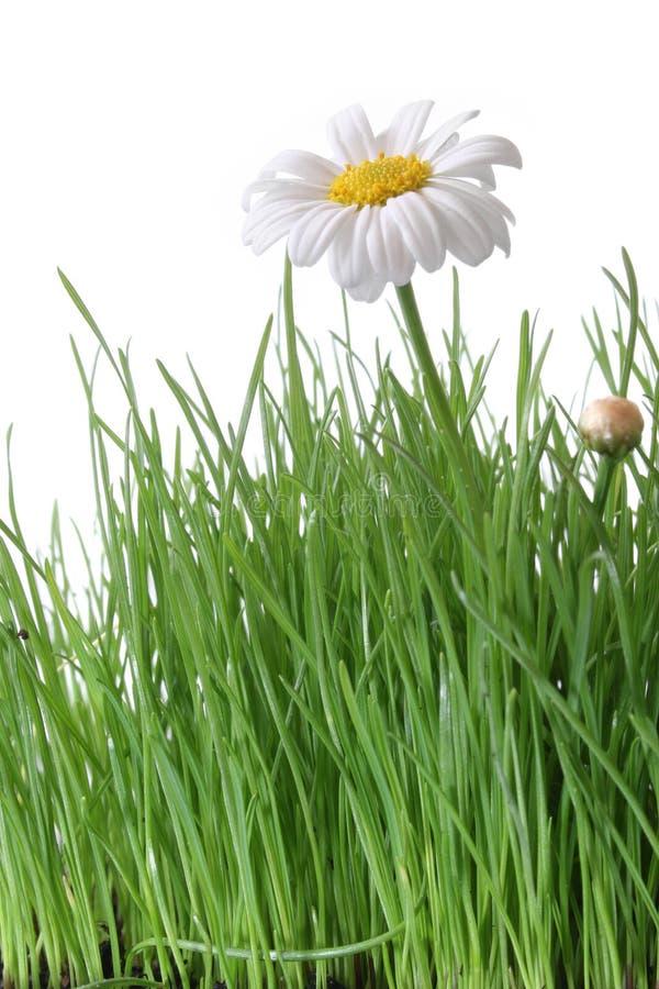 Marguerite et herbe photos stock