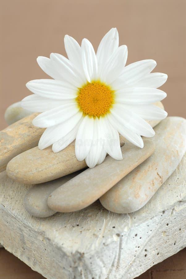 Marguerite et pierres photographie stock libre de droits