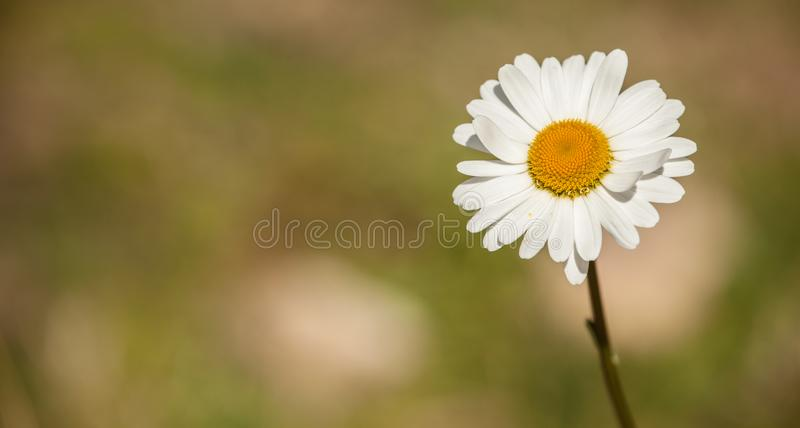 Marguerite flower from the Dolomites - ITALY royalty free stock photo
