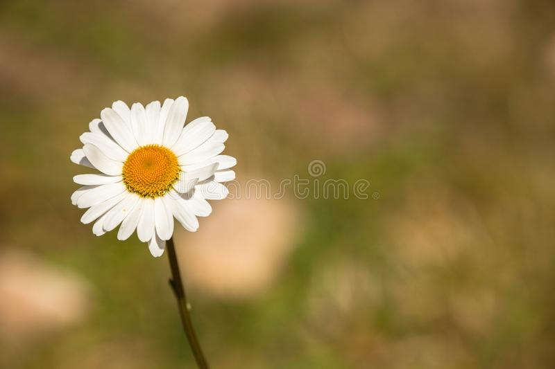 Marguerite flower from the Dolomites - ITALY stock images