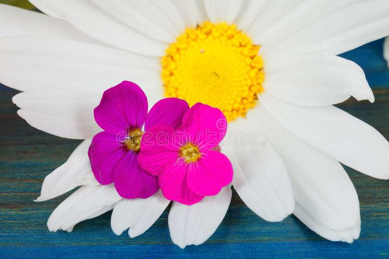 A marguerite flower reigns with two small wild fuchsia flowers. On blue background royalty free stock image