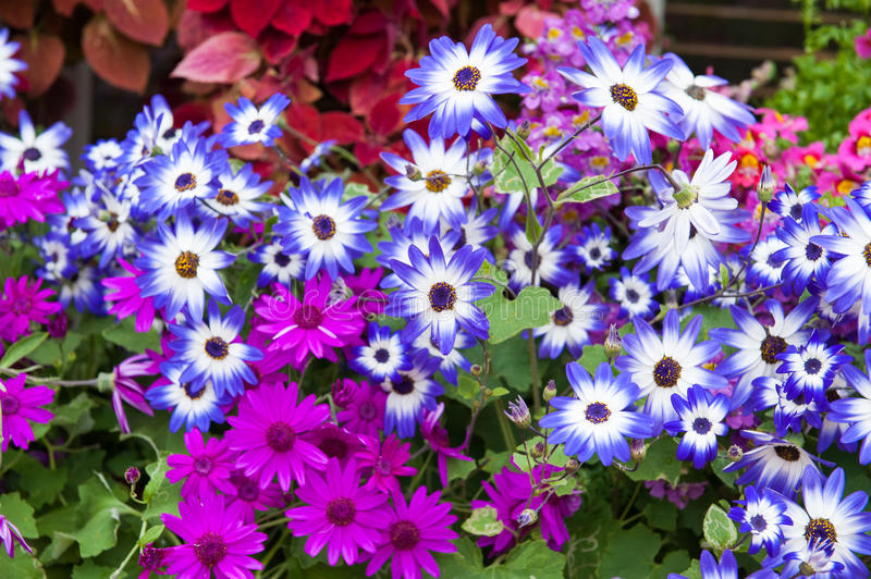 Marguerite flowers. Background of bright spring marguerite flowers stock photo