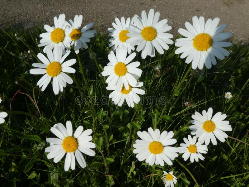 Marguerite flowers with white blossom in the meadow. Marguerite wild Flowers Meadow green grass White blossom forest nature stock photography