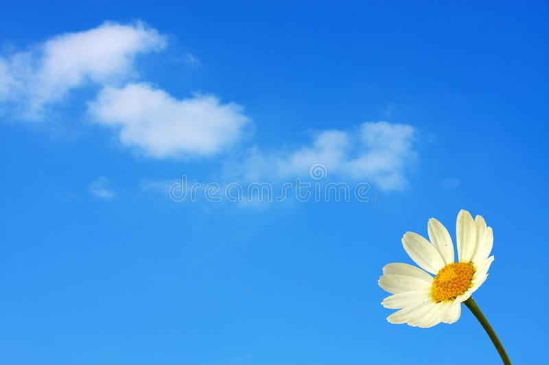 Marguerite in front of the blue sky stock images