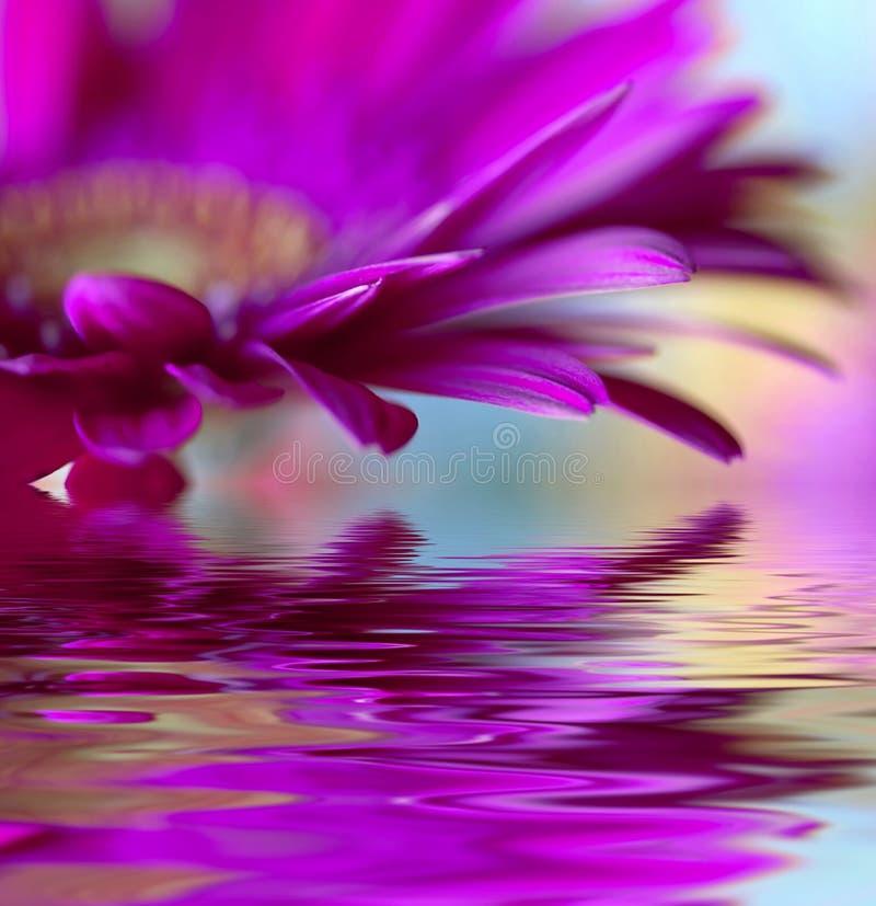 Marguerite-gerbera violet photo stock