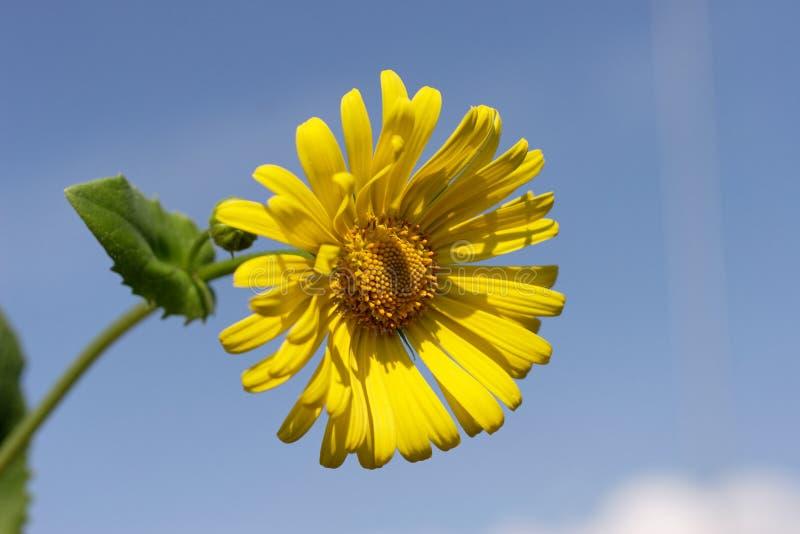 Download Marguerite jaune image stock. Image du pétales, pré, fleuriste - 728225