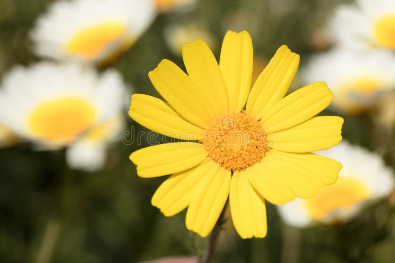 Marguerite jaune photographie stock