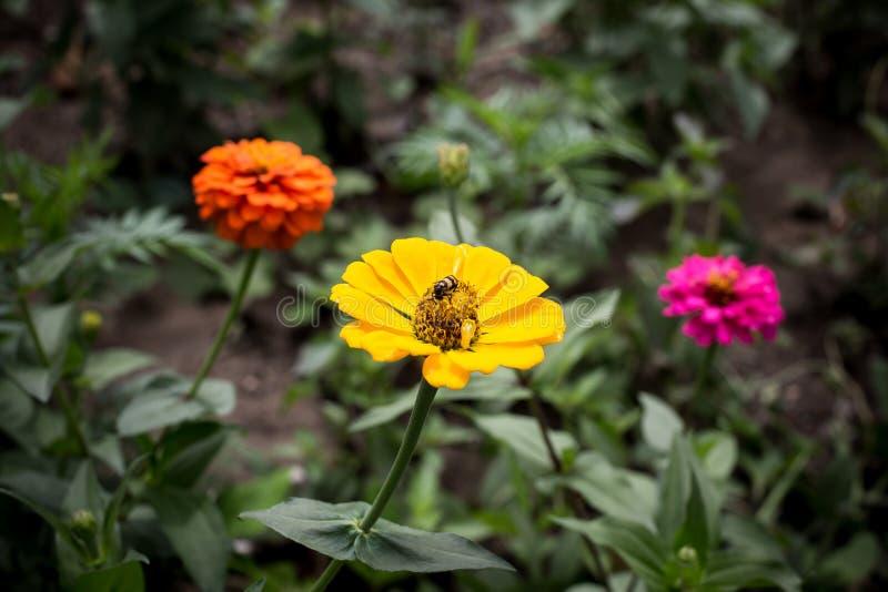 Marguerite jaune avec un insecte sur son pollen au parc national de PA Hin Ngam - Chaiyaphum, Thaïlande photos libres de droits