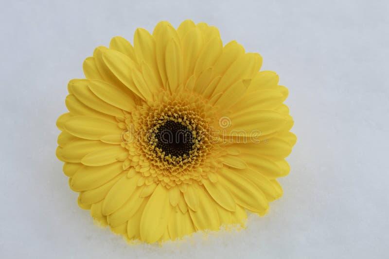 Marguerite jaune dans la neige photographie stock