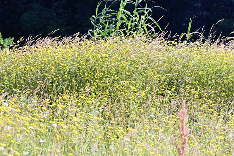 marguerite jaune dans un jardin photo libre de droits