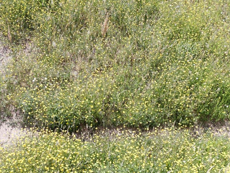 marguerite jaune dans un jardin images libres de droits