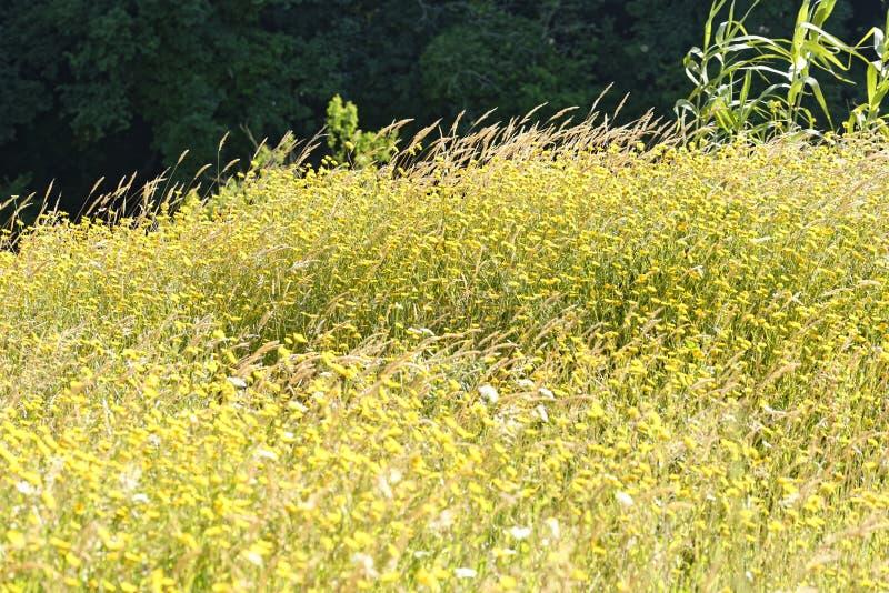marguerite jaune dans un jardin image stock
