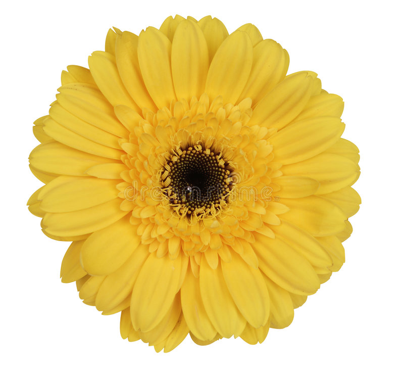 Marguerite jaune de gerber photographie stock