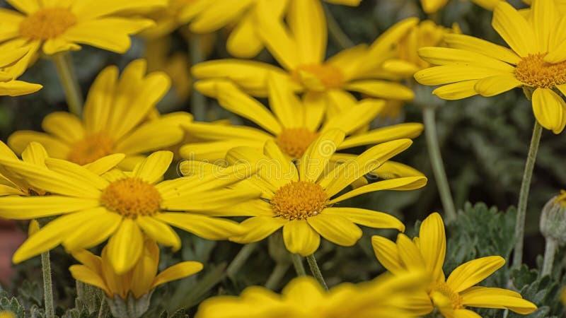Marguerite, Leucanthemum maksimum, hybrydowy «światło słoneczne «, bladożółty lata marguerite Ornamentacyjni kwiaty dla ogródu, p zdjęcie stock