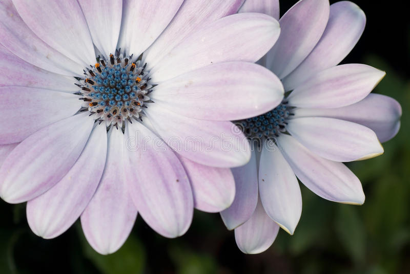 Marguerite Margurite Osteospermum royaltyfri foto