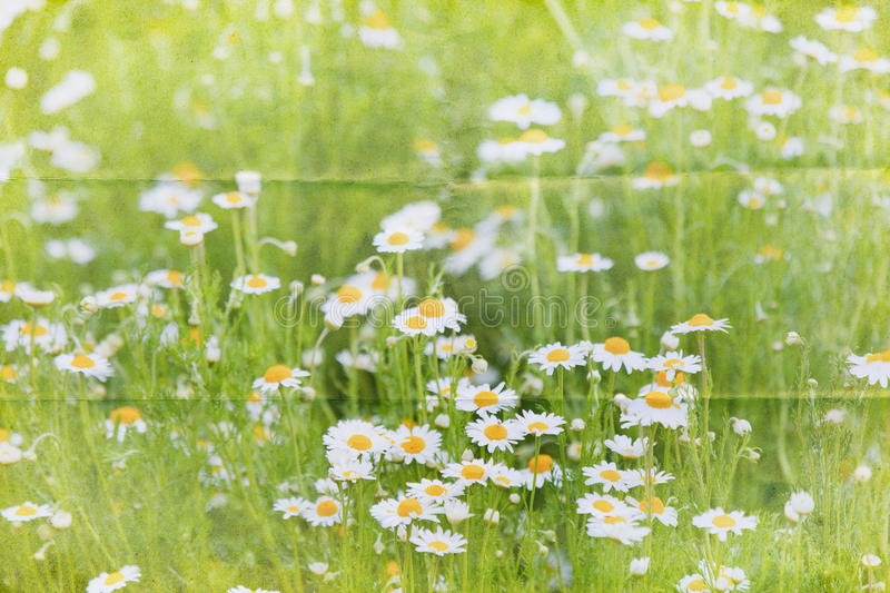 Marguerite meadow background royalty free stock photo