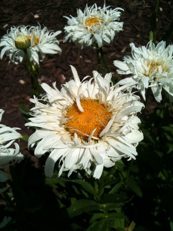 Marguerite minuscule blanche photographie stock libre de droits