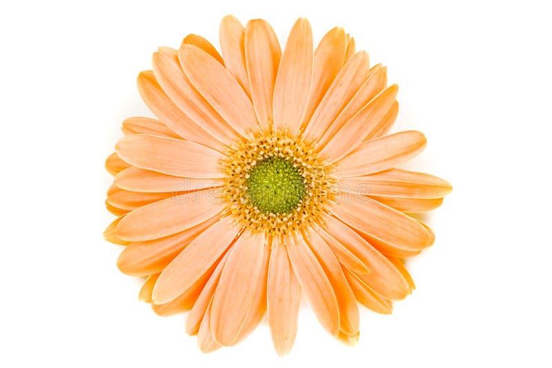Marguerite orange d'isolement de Gerber images libres de droits