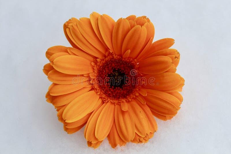 Marguerite orange dans la neige photo libre de droits