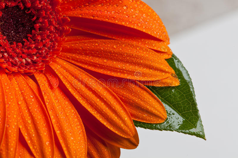 Marguerite orange de Gerber image stock