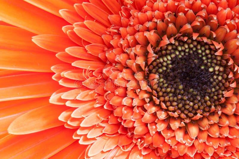 Marguerite orange de gerber photo stock