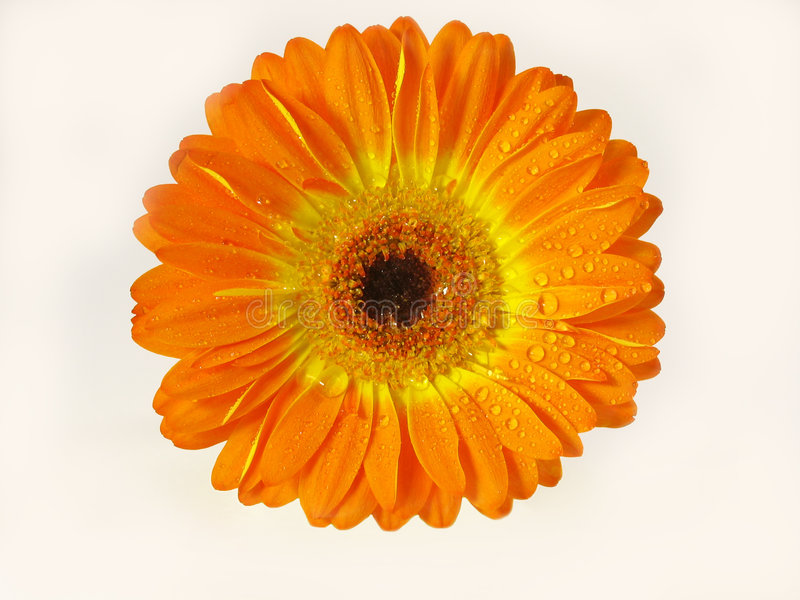 Marguerite orange de Gerber photographie stock