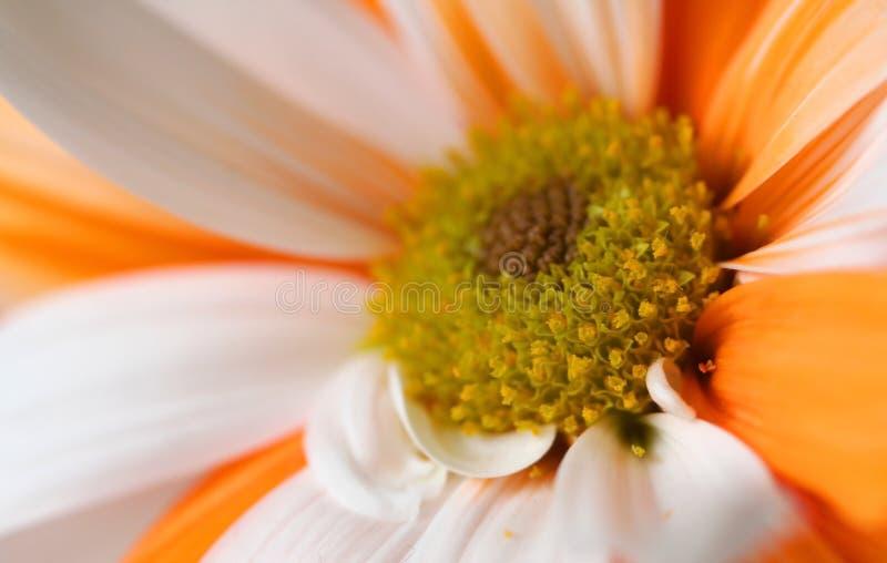 Marguerite orange et blanche images libres de droits