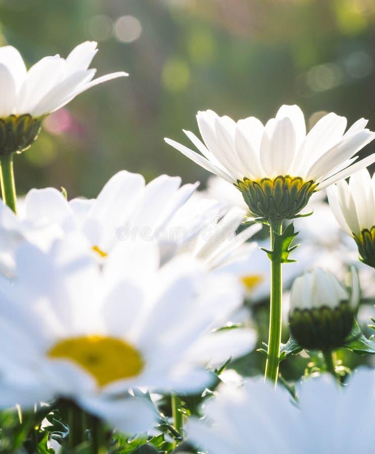 Marguerite ou marguerites anglaise blanche Fermez-vous au coucher du soleil image libre de droits