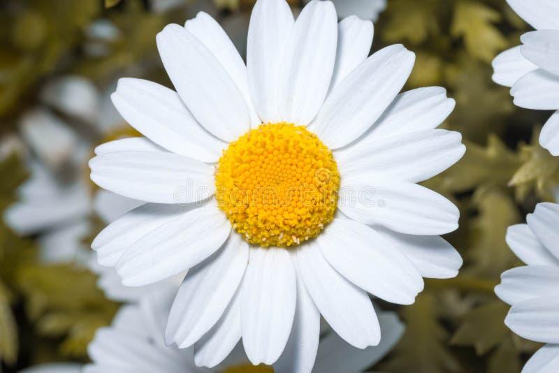 Marguerite ou marguerites anglaise blanche Fin haute et macro photographie stock