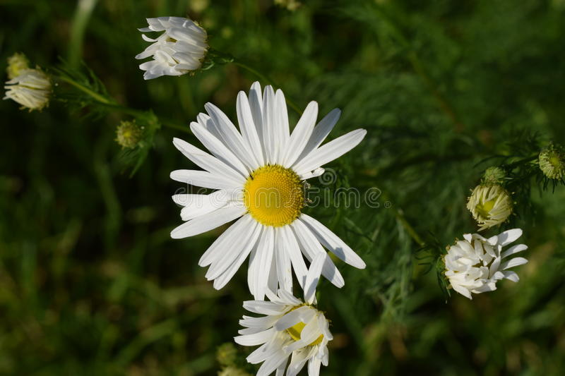 Marguerite. Or ox-eye-daisy are two to multi-year herbs. She was photographed in Slovakia. Sorry for my English.  oder ox-eye-daisy sind zwei bis einige jä royalty free stock photo