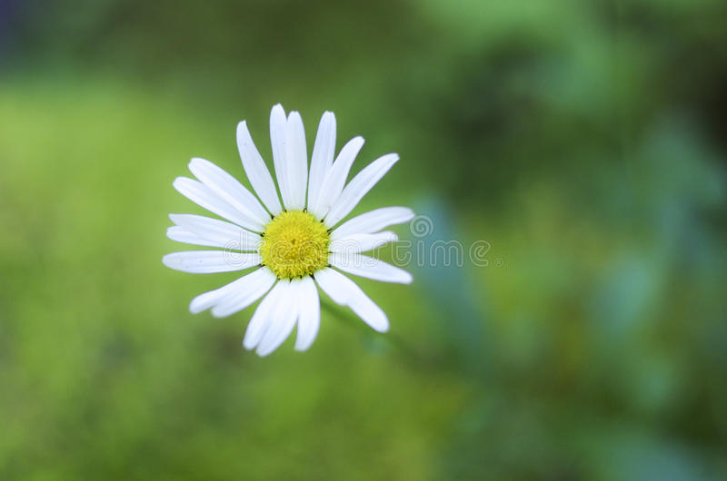 Marguerite parfaite photo stock