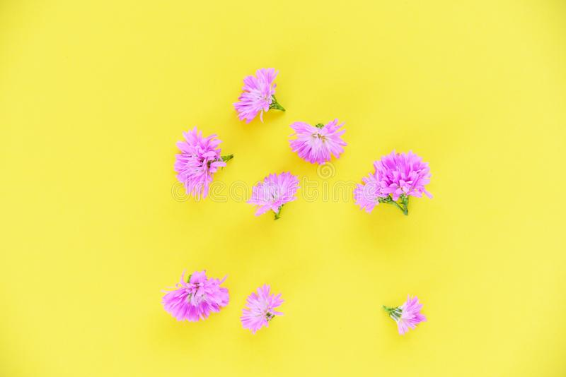 Marguerite purple flower on yellow background stock photography