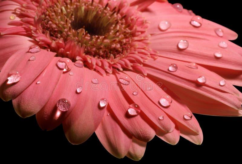 Marguerite rose de gerbera sur le noir photos stock